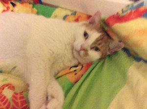 Lost: large white and orange cat
