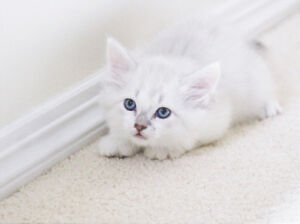 LILAC MALE RAGDOLL KITTEN IS AVAILABLE FOR ADOPTION