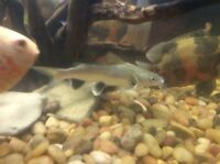 Silver tipped shark catfish needs a new home $15