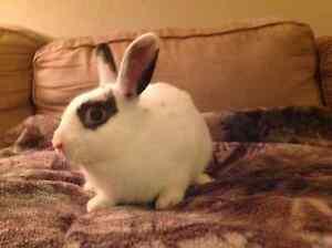 Dutch and Netherland dwarf bunny