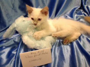 """""""Charlie"""" is a Lilac Point Purebred Ragdoll kitten"""