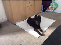 17 Week Old Female Belgian Shepherd Puppy