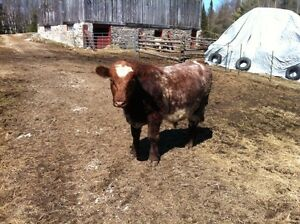 Shorthorn Yearling Bull