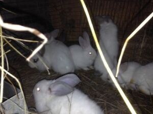 Baby meat rabbits for sale