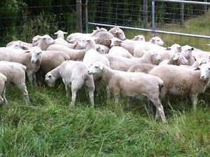 Dorper Ewe Lambs  (Annalara Stud Blood Line) For Sale Tullamarine Hume Area Preview