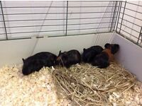 Baby Guinea Pigs, Just 4, 2 Male 2 Female Ready Now