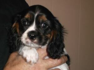 3/4 Cavalier Puppy 1 Left SOLD