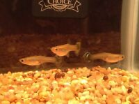 FEMALE GUPPIES FOR SALE