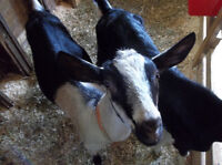 Two female goats for sale
