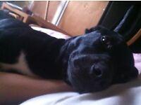 Beautiful and super loving doggy staffy x Labrador