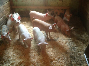 ***TWO Liters of Pigs For Sale!***
