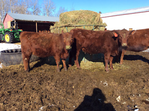 Red angus cross replacement heifers