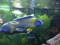Large Male African Cichlids