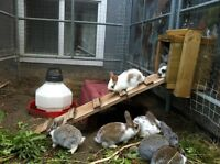 Meat rabbit bunnies for sale
