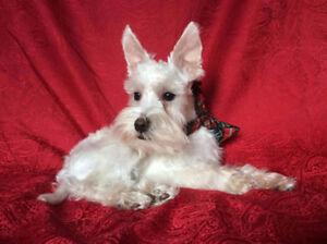 Schnauzer nain (toy) mâle  blanc crème de 7 mois