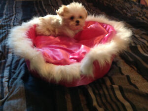VERY SPECIAL  SHIH TZU X POM  PUPPIES -  FAMILY RAISED WITH LOVE