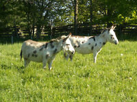 trio of miniature donkeys for sale