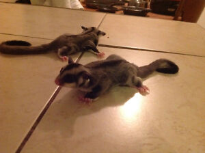 Twin male and female baby sugar gliders for sale Windsor Region Ontario image 2