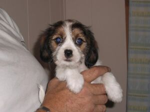 Shorkie/Cavalier Cross Puppies