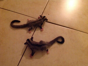 Twin male and female baby sugar gliders for sale Windsor Region Ontario image 1