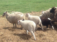 Feeder lambs for sale