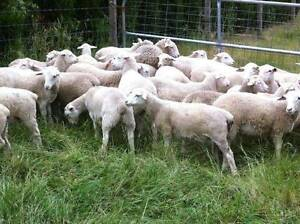 Dorper Ewe Lambs For Sale Tullamarine Hume Area Preview