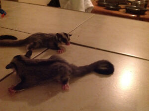 Twin male and female baby sugar gliders for sale Windsor Region Ontario image 3