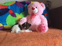 3 Chihuahua 2FEM + 1 MALE  TRÈS BELLE QUALITÉ ENR CCC