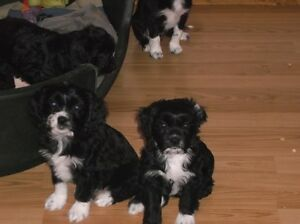 Cavalier Cross Puppies Price Reduced