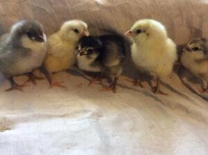 Ameraucana Chicks