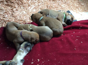 Old English Mastiff Puppies
