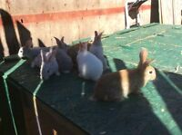 Pet or meat rabbits for sale