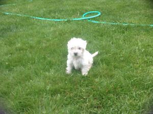 2 males and 4 females for sale (Maltese & poodle mix)