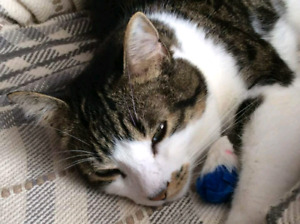 Lost Cat in St. Eleanors Irving / North Drive Area