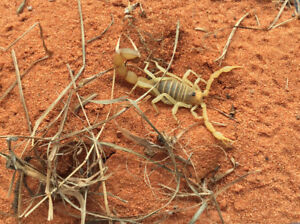 Live Scorpions: Exotic and Rare