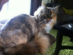 Affordable, Full Service Cat Grooming! Pampered Paws Home Spa