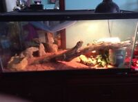 Adult bearded dragon $150 o.b.o
