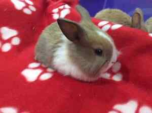 Netherland Dwarf x Holland Lop Bunnies Available