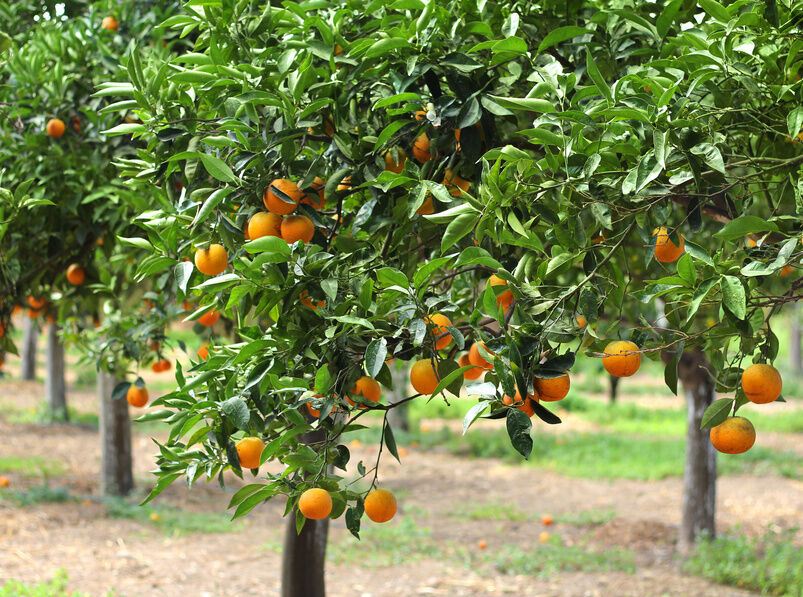 How to care for citrus plants ebay for Buy a lemon tree plant