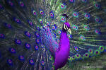 The Purple Peacock