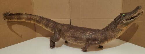 Vintage Alligator Crocodile Taxidermy Reptile collectible approx 80cm long!