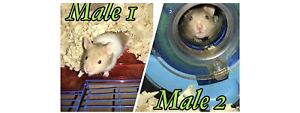 Baby male Syrian hamsters looking for homes