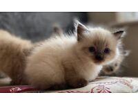 Beautiful Ragdoll kitten girl **Last One**