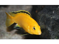 Fish tank accessories Yellow lab