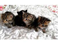 Beautiful tabby kitten boys