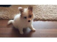 Pomperaion puppy female