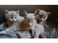 Russian blue kittens -only one left