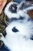 Rare Lionhead rabbit - 8mths and new living world cage + access