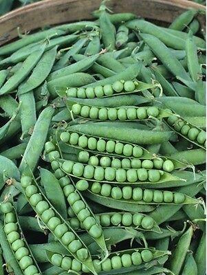 Green Arrow Pea (Heirloom GREEN ARROW PEA❋300 SEEDS (2 oz)❋Heavy Yields❋Disease)