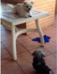 2 dogs Honey and Poppy Bankstown Bankstown Area Preview